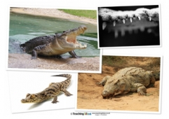 Crocodile Photos